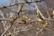 Unblown Cherry Buds On A Branch