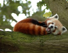 Red Panda Lies On A Tree And Y...