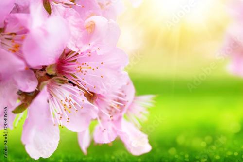 Foto-Schiebegardine ohne Schienensystem - Beautiful cherry blossoms closeup with blurred sunny green background (von Smileus)