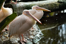 Family Of Beautiful Pink-backed Pelicans (Pelecanus Rufescens) In Its Natural Enviroment. Horizontal Shot