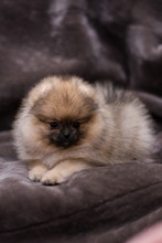 Spitz Dog Pomeranian Puppy