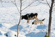 Cow And Dog On A Snowy Field On A Sunny Day