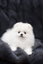 Spitz Dog Pomeranian Puppy