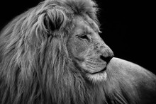 The Lion (Panthera Leo) Is A S...
