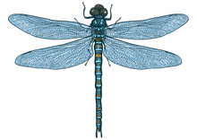 Dragonfly Illustration, Engrav...