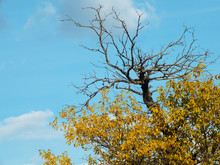 Top Of Mulberry Tree With Yellow Leaves And Bare Branches Against Blue Sky