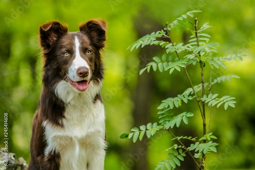 Cuadros en Lienzo Portrait of adorable brown and white border collie dog with pink tongue sitting