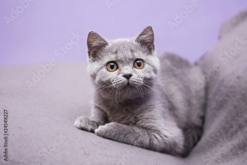 Foto op Aluminium Kat kitten cat Scottish straight, loose fluffy, animal munchkin