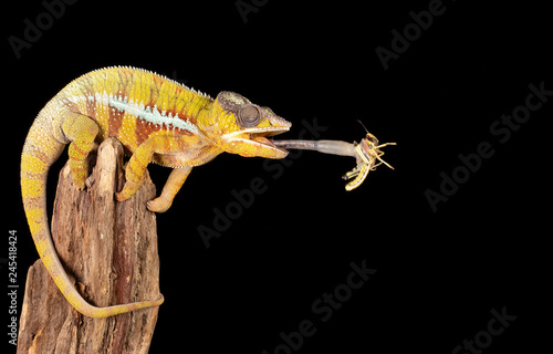 Photo sur Toile Cameleon Chameleon catching a locust