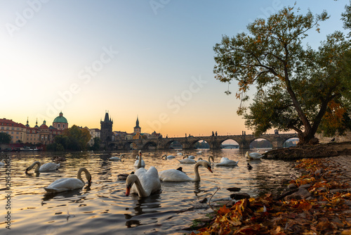 Photo  Swans on the river bank in Prague in the morning