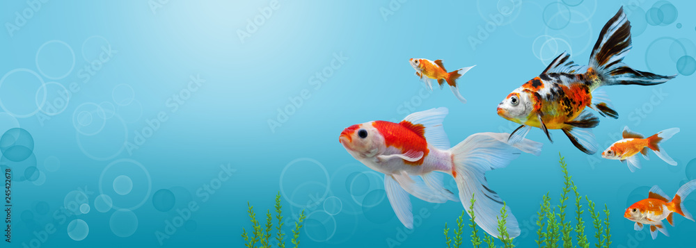 Fototapeta Collage of aquarium gold fish on blue background, banner with copy space, mock up template