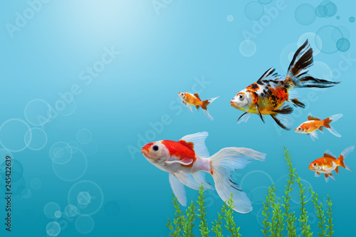 Foto Collage of aquarium gold fish on blue background, banner with copy space, mock u