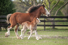 Miniature Clydesdale Mare With Foal At Side