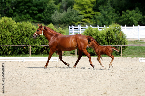 Canvastavla Beautiful mare and foal running together on sandy dressage ground at animal farm