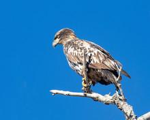 Immature Bald Eagle Perched On...