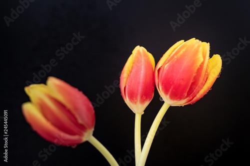 Poster Fleuriste orange and yellow tulips on black background