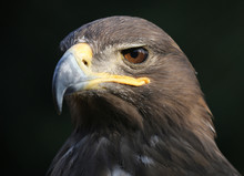 Eagle Portrait With Natural Ba...