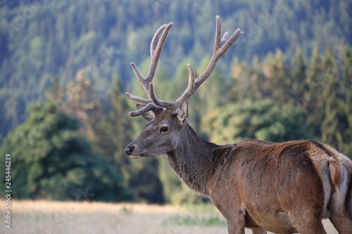 male stag on a meadow;