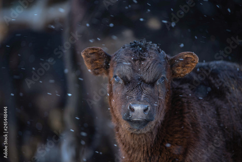 Photo Close up On Young Baby Black Angus Calf