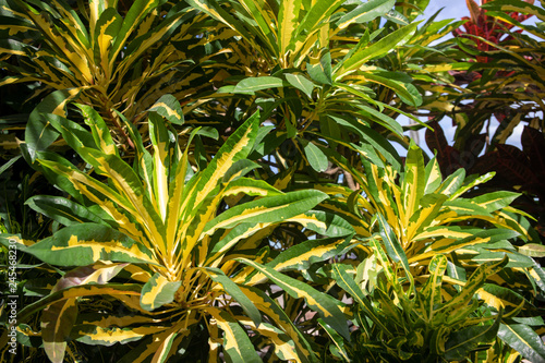 Exotic Plant With Green Yellow Leaves Topical Greenery Photo Background Tropical Garden Plant Closeup Buy This Stock Photo And Explore Similar Images At Adobe Stock Adobe Stock So i make sure to be proactive in trimming any crispy or yellow leaves. exotic plant with green yellow leaves