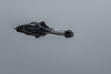 Alligator Partially Submerged In The Calm Water Of A Pond In Florida
