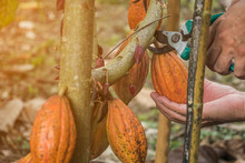 The Cocoa Tree With Fruits. Ye...