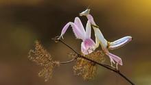 The Beautiful Praying Mantis On Macro Photography