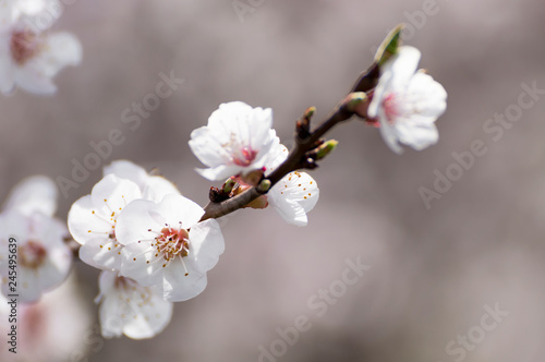 Keuken foto achterwand Kersenbloesem Beautiful white and pink apricot blossom tree in spring time. Close up view of fruit tree flowers. Floral bacground.