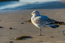 Ring-billed Gull Standing On O...
