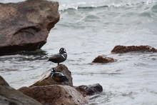 Harlequin Duck In Ibaraki Pref...