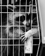 Raccoon Trapped In Cage Trying...