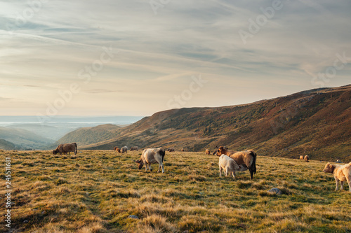 Cows in a rocky pasture of Cantal Canvas Print