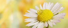 Water Drop On Daisy Flower Closed Up Spring Background