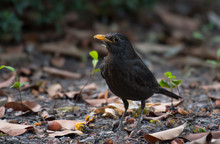 Chinese Blackbird On The Ground In Nature.