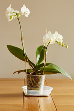 White Phalaenopsis.