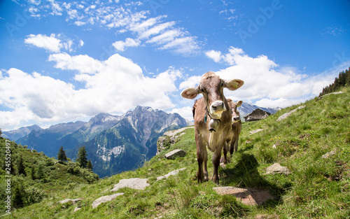 Foto op Aluminium Koe Happy cows in the Alps