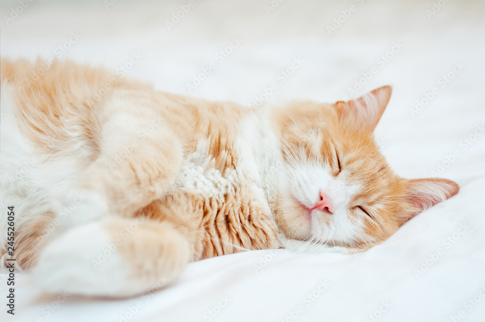 Fototapety, obrazy: cute sleeping ginger cat at white bed. concept of calm and cozy comfort