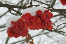 Rowan Berries Covered With Snow