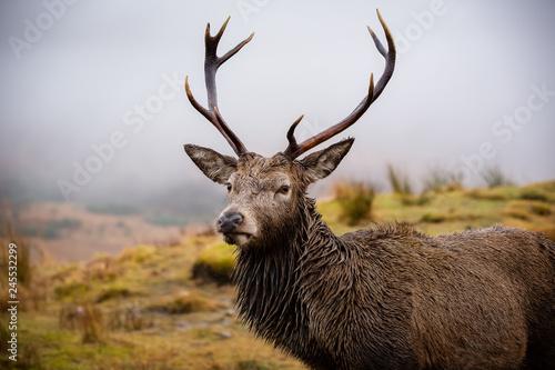 Plakat Mężczyzna jelenia z bliska głowy i ramion, patrząc w kamerę