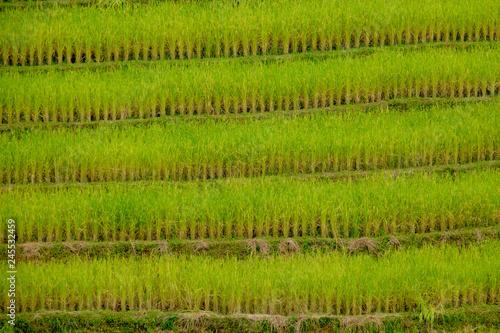 Poster Rijstvelden Terraced rice field in Northern Thailand