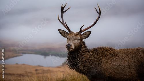 Plakat Mężczyzna jelenia z bliska strzał głową, tło szkocki loch
