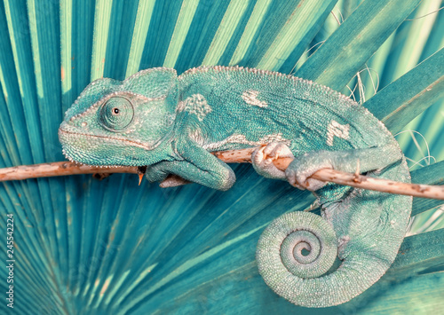 Papiers peints Cameleon Beautiful green chameleon - Stock Image
