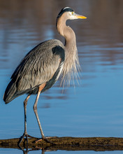 Great Blue Heron On The Potomac