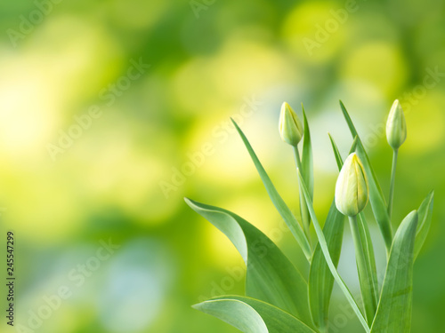 Yellow tulip buds and flowers spring background