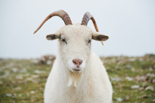 Close Up Portrait Of Wild White Mountain Goat With Little Horns