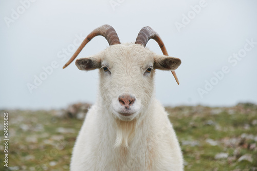 close up portrait of wild white mountain goat with little horns Fotobehang