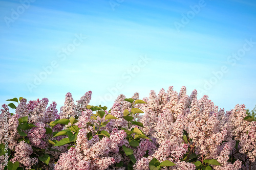 Poster Fleur Blossoming pink lilacs in the spring. Spring background.