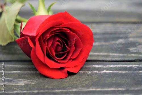 A single red rose on the old vintage wooden background, Winter in Georgia USA.
