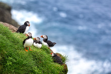 Puffins At The Faroe Islands, ...