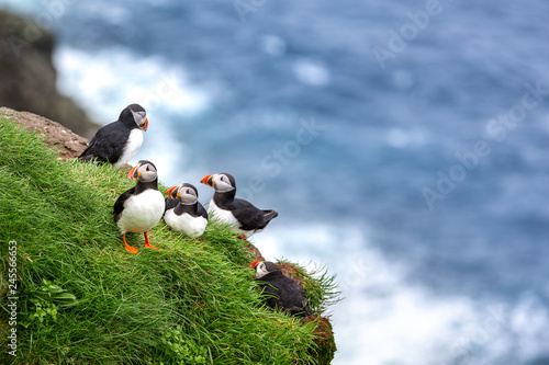 Fotografia  Puffins at the Faroe Islands, wild Europe. Mykines Island